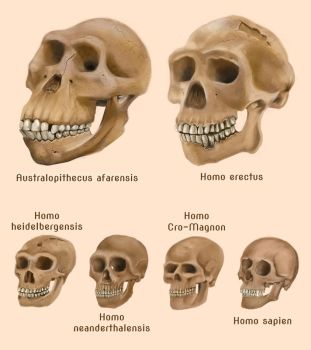 Human evolution skulls by amircea