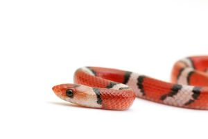 Scarlet Snake by ribbonworm