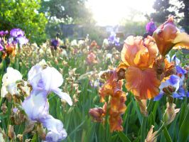 Field of Iris Flowers by Luthien3