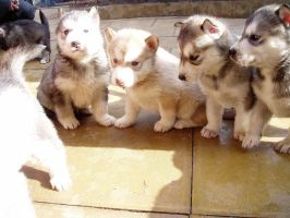 Aleu the husky puppy lineup by Staceybob