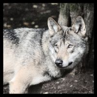 Wolf 6 by Globaludodesign