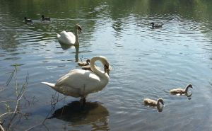 The Cygnets are growing fast by Rozrr