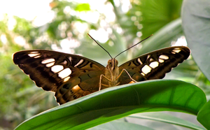 Butterfly Tailed Jay by Bhesi