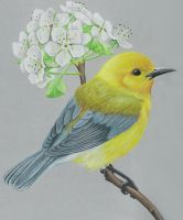 Prothonotary Warbler by JacquelineRae