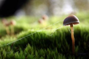 Mushroom in dew and cobweb by sprad