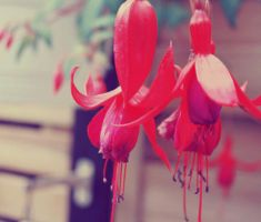 Fuschias by LilP0p