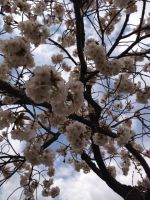 Brooklyn Botanic Garden - Sakura Under The Sky by Blueheart1331