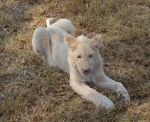 White lion cub 01 by RecreateStock