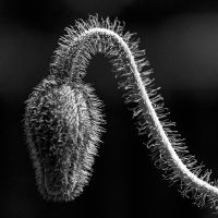 hairy by augenweide