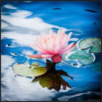 Lotus by songe