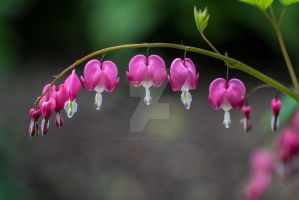Bleeding Heart Perennial Flowers by photographybypixie
