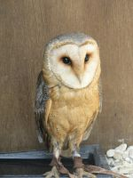 Barn Owl 03 by MelieMelusine