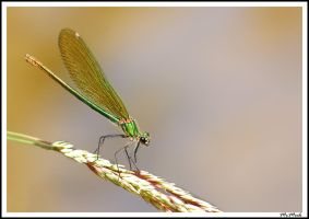 Damselfly in the wind by MrMeik