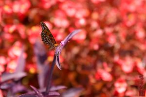 Red Sea Butterfly by juhitsome