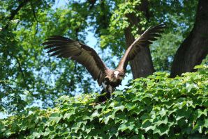 hooded vulture 2.3 by meihua-stock
