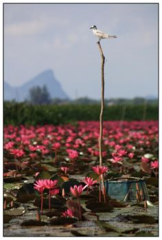 lotus forest No. 7 by areefeen