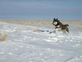 Siberian Husky Stock 025 by EssenceOfPerception