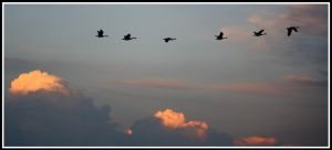 Geese At Sunset by Merhlin