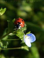Coccinella 7-punctata by AlessandraPlasterpad