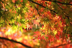 Momiji Maple 2010 04 by theblindalley