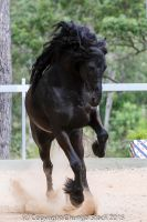 E Friesian leaping up front view by Chunga-Stock