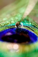 droplet peacock by ashleygino