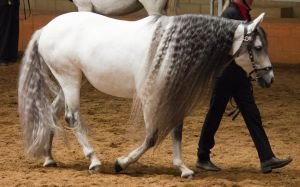 STOCK - 2014 Andalusian Nationals-163 by fillyrox