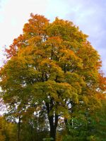 The Autumn Tree by Carbuncle16