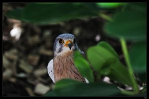 common kestrel by netbandit