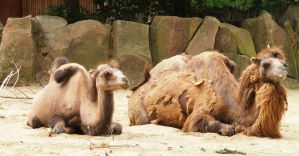 young and adult camel lying by Nexu4