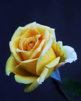 Promise Rose by TruemarkPhotography