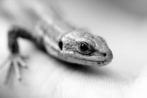 Lizard by BWozniakPhotography