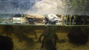 Baby caiman ? 2 by Anpyre