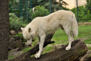 2013 August: Wolves in Berlin 10 by windfuchs