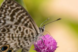 Cassius Blue butterfly by doug633