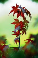 Japanese Acer by George---Kirk