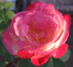 Rose 052115 02 by acurmudgeon