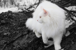 Winter Maine Coon I by icelandicrider