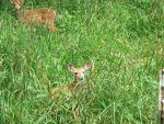 Orphaned Fawns 5 by Windthin
