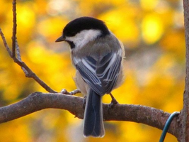 chickadee by taevans
