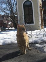 orange cat in snow by CotyStock