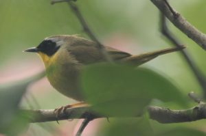 Common yellow throat male by Laur720