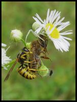 Wasp helping an eating spider by Pildik