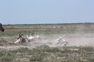 Zebra rolling in dirt by DoWnHIller