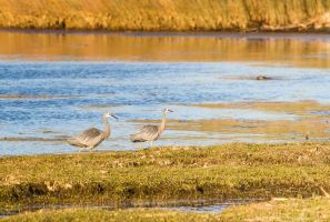 Heron Pair by ARC-Photographic
