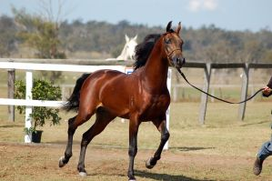 GE Arab dark bay trot sidefront view by Chunga-Stock