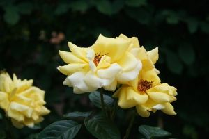 yellow roses by ingeline-art