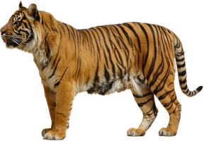 Tiger PNG by sabirpure