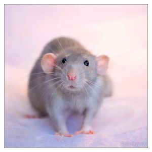 Aegir 6 - Fancy rat