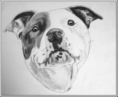 Staffie mix - Ludde by kallerhult